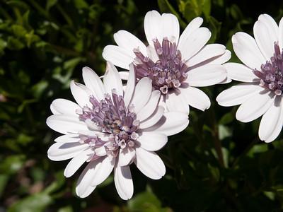 Osteospermum - Daisy 3D Silver