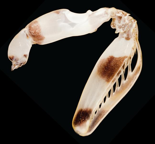 Lysiosquillina maculata raptorial appendage