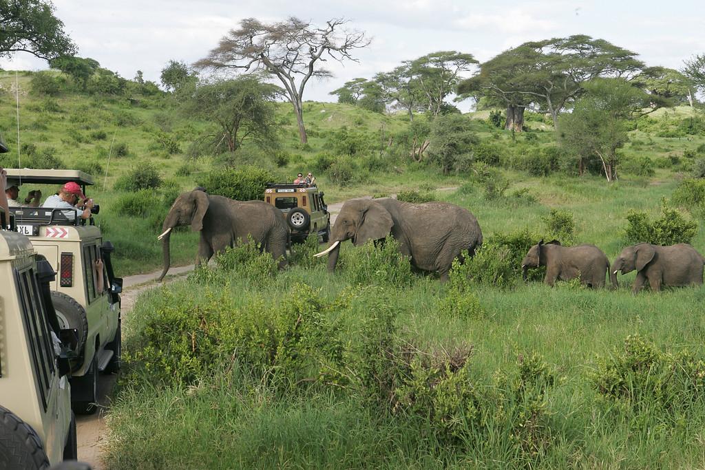 . A herd of elephants cross the road between Land Cruisers on a Safari tour of Tarangire National Park, Tanzania, Africa.