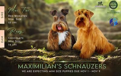 Roxy & Mai- Tai Puppies, DOB 11/06/2020