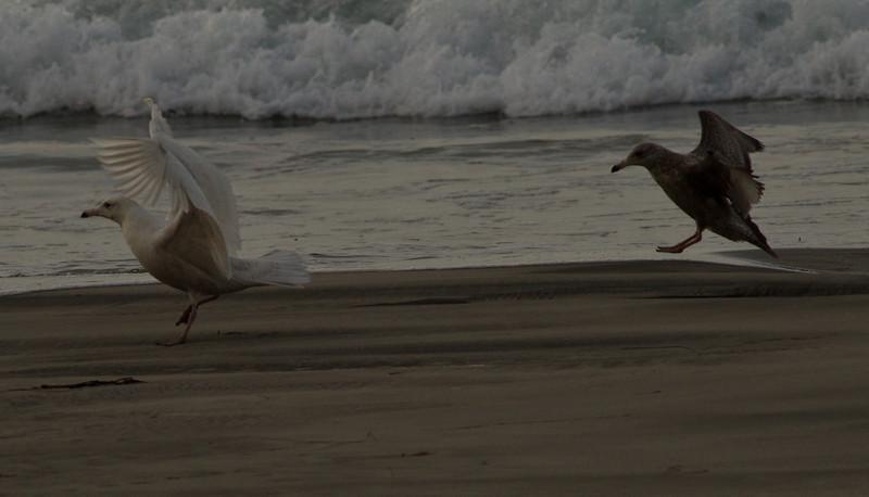 Glaucous Gull Western Gull  Oceanside  2014 02 26-1.CR2