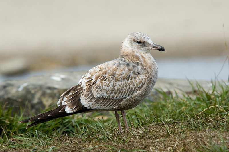 Gull - Ring-billed - juvenile - Lincoln City, OR
