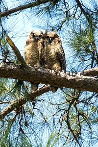 Owl  113