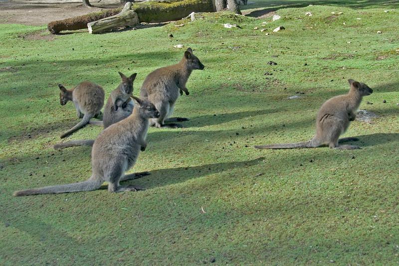 Wallaby 2 - Tasmania, Australia