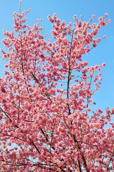 April 10_BranchBrookCherryBlossoms_7515.jpg