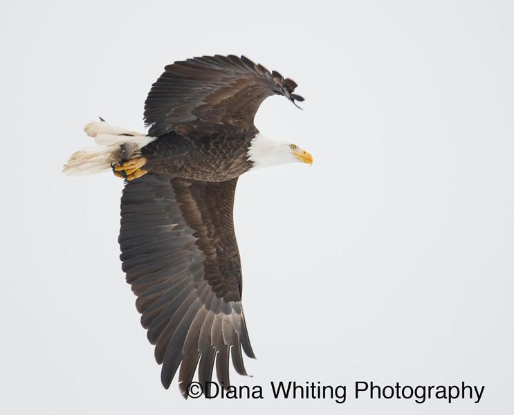 Bald eagle 34.jpg