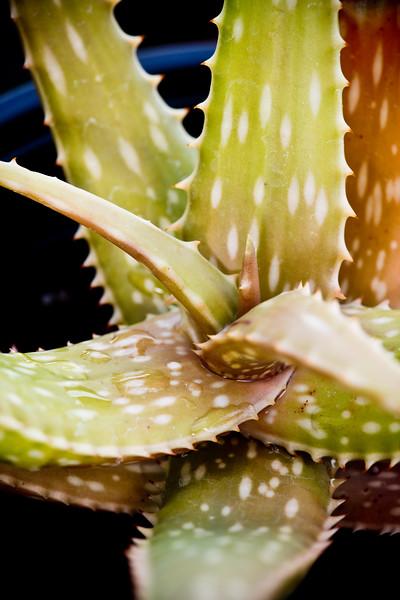 Aloe peckii