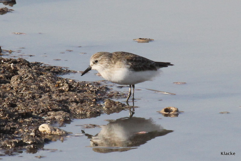 Little Stint, Småsnäppa