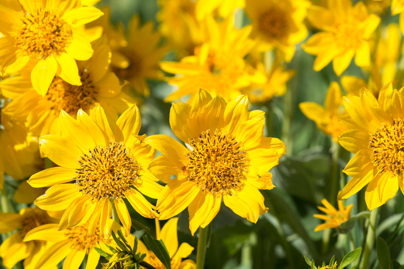 Spring Yellowstone Flowers