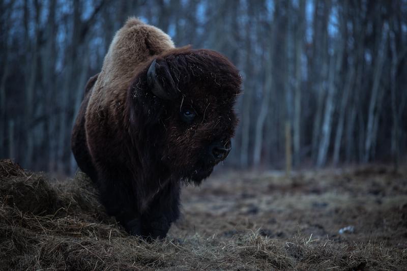 AHP171212_buffalo1444.jpg