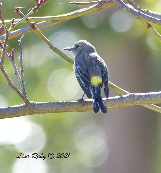 Yellow-rumped Warbler (Myrtle?)  - 2/22/2021 - Poway Creek
