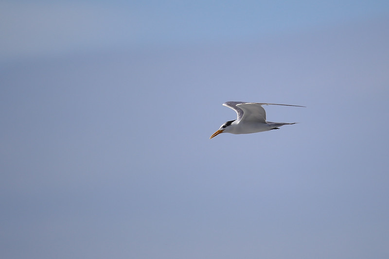 Lesser Crested Tern (Thalasseus bengalensis)
