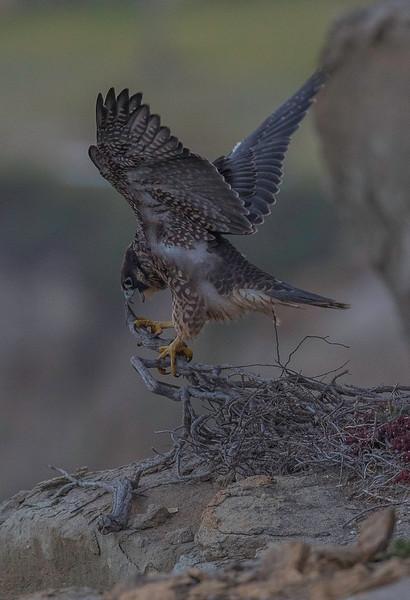 falcon3.jpg