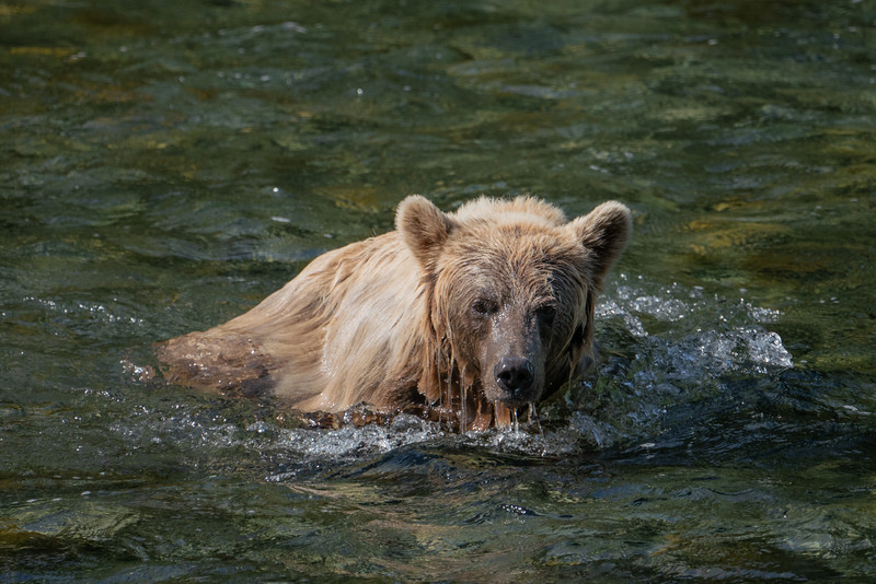 BC-Grizzly-Bears-00554.jpg