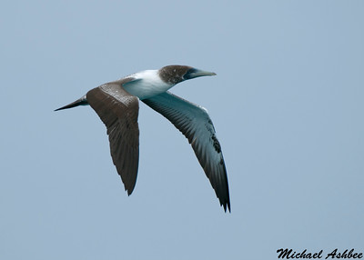Masked Booby (Rare tropical Vagrant)
