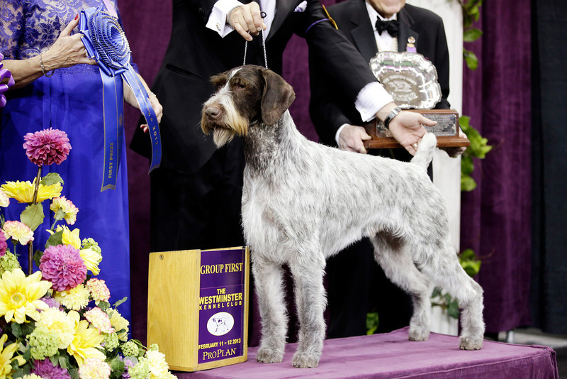 . Oakley, a German wirehaired pointer and winner of the Sporting group, is posed for photographs during the 137th Westminster Kennel Club dog show, Tuesday, Feb. 12, 2013, at Madison Square Garden in New York. (AP Photo/Frank Franklin II)