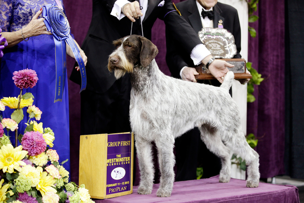 Description of . Oakley, a German wirehaired pointer and winner of the Sporting group, is posed for photographs during the 137th Westminster Kennel Club dog show, Tuesday, Feb. 12, 2013, at Madison Square Garden in New York. (AP Photo/Frank Franklin II)