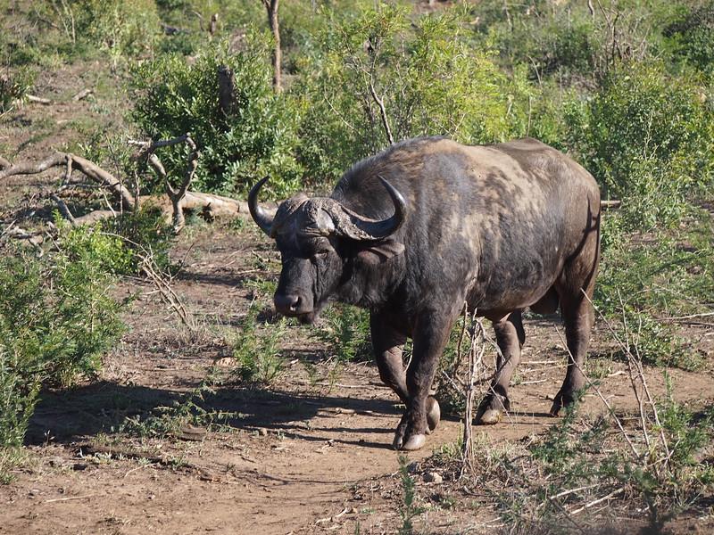P5056376-cape-buffalo.JPG