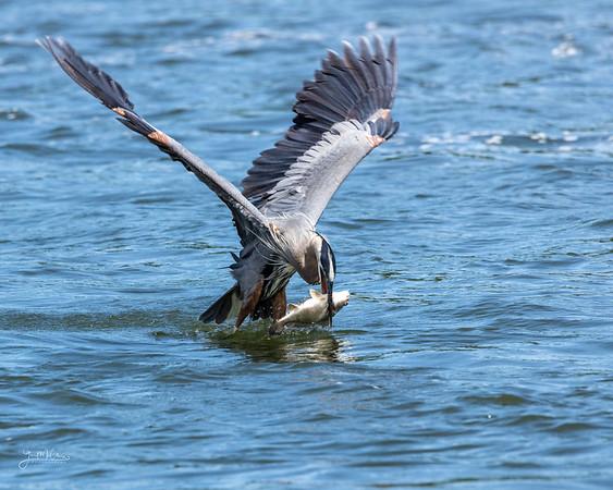 Blue Herons at Lake Texoma