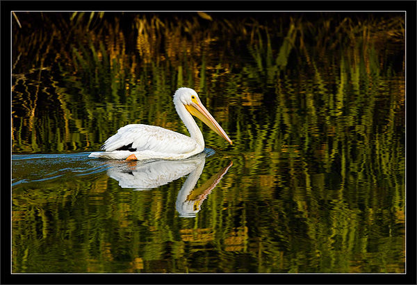 White Pelican & Reed Reflections