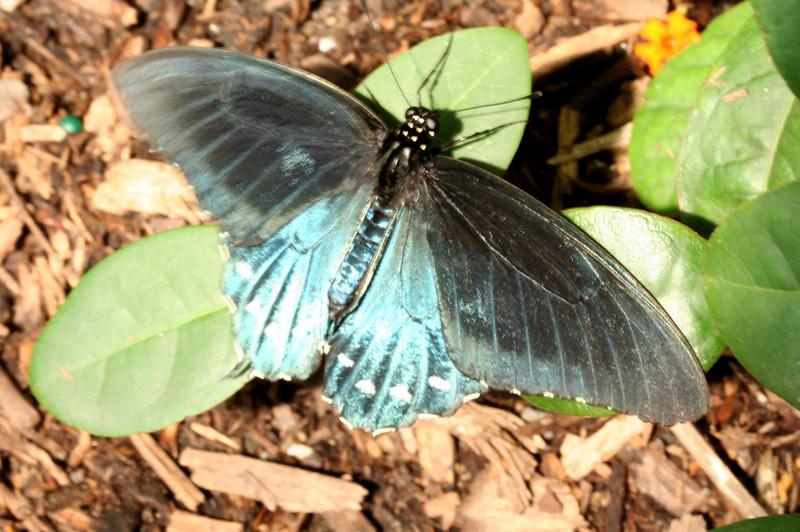 Pipevine Swallowtail (BZ)