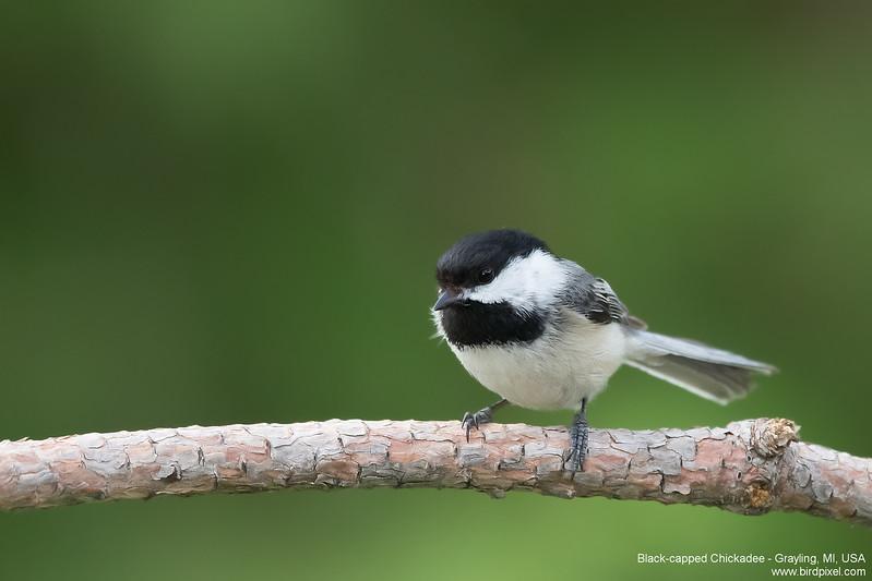Black-capped Chickadee - Grayling, MI, USA