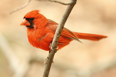 Male Northern Cardinal (Cardinalis cardinalis) in the woods of Newport News, VA. © 2007 Kenneth R. Sheide