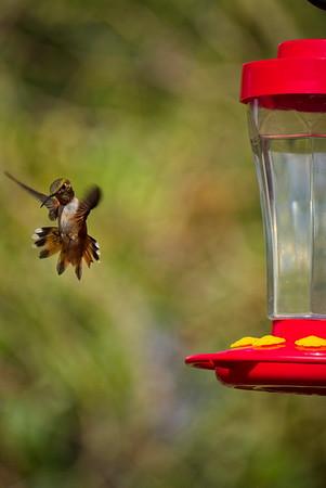 Hummingbirds-Natural-Aug 2017
