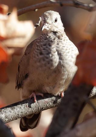2015 Common Ground Dove - Lincoln Park Zoo