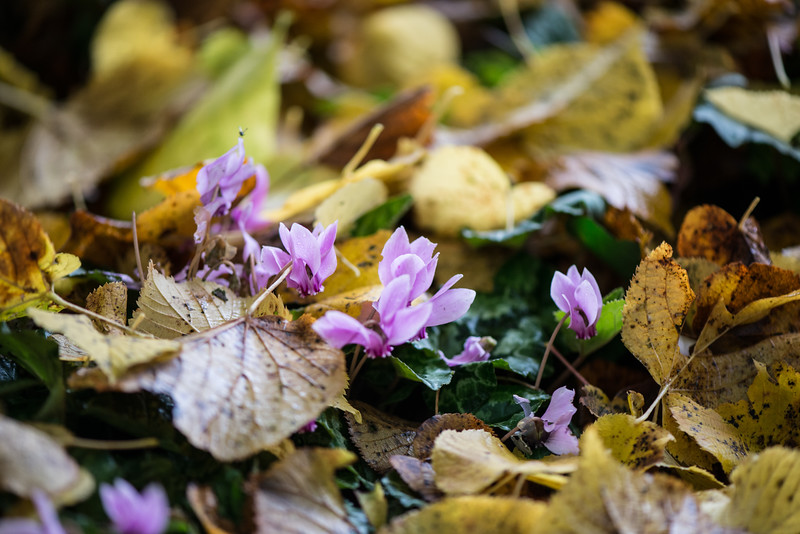 Autumn Cyclamen-1.jpg