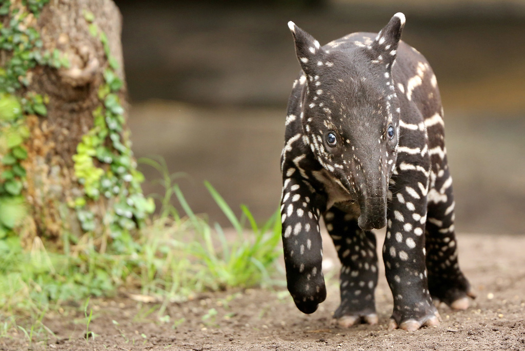 . Young Malayan tapir Baru at the zoo in Leipzig, eastern Germany, on March 27, 2013. AFP PHOTO / JAN WOITAS