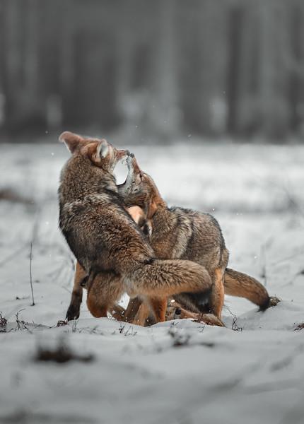 Battling Coyotes