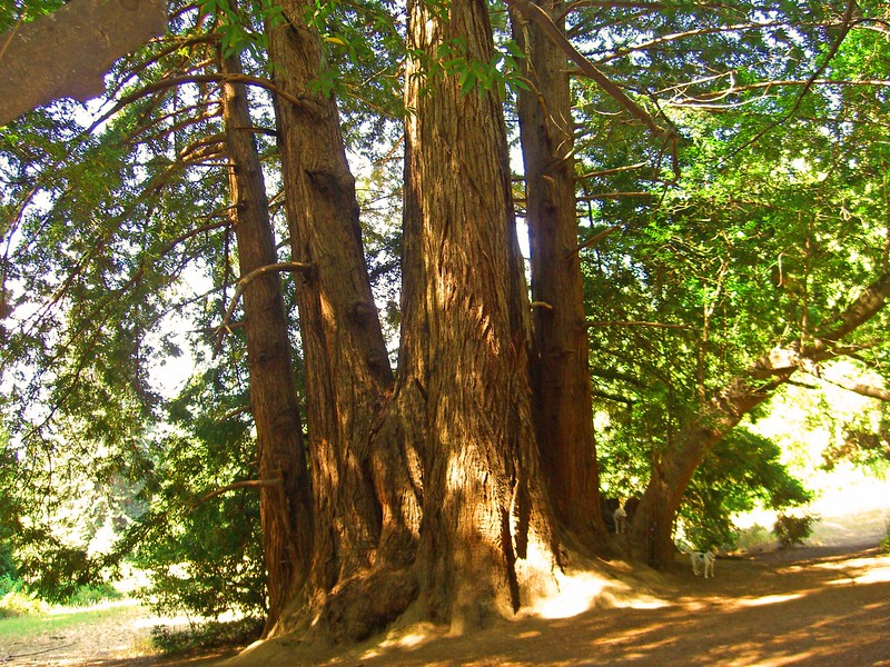 The Council tree, a very old redwood along the trail.  See how small Whitty and Billy are at the bottom right in picture!