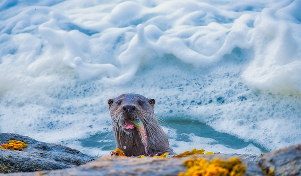 Otters in the Hebrides