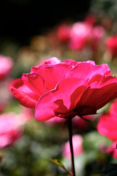Portland International Rose Test Garden  2239.jpg