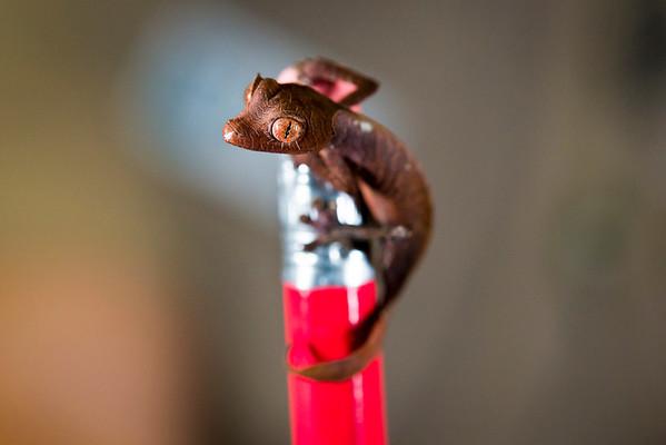 Fantastic Leaf-tailed Gecko