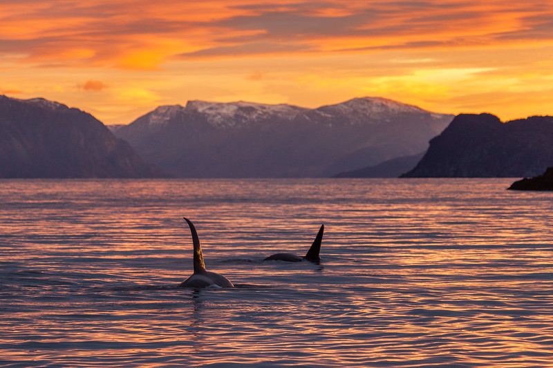 Norway_Orcas-7.jpg