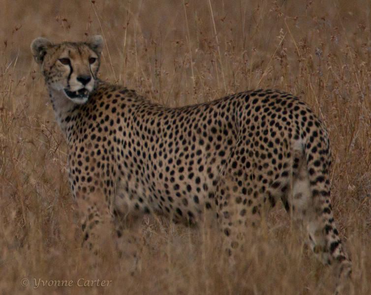 Cheetah body_10_w.jpg