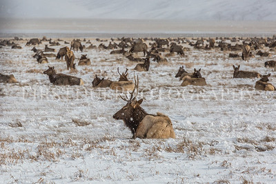 National Elk Refuge Jackson, Wyoming