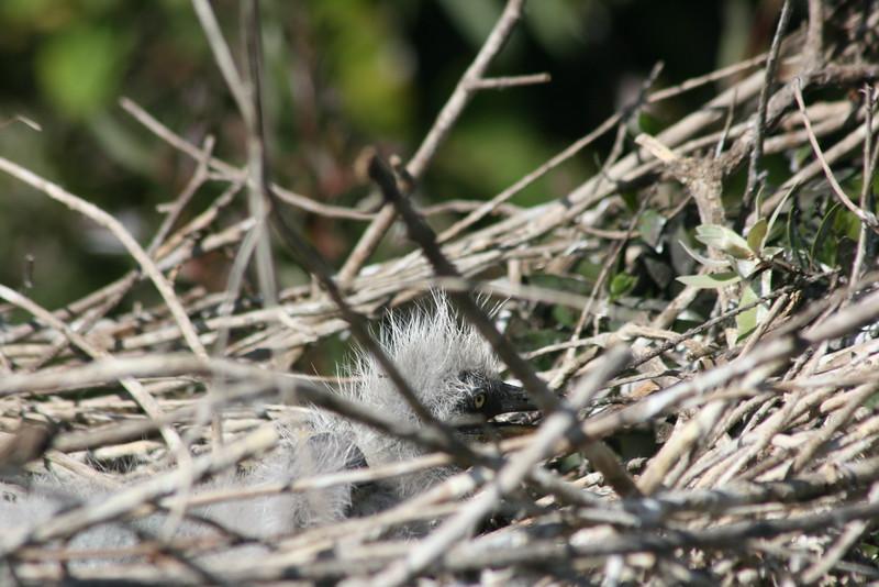 Great Blue Heron Juvenile
