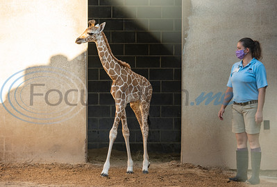 Baby Giraffe at Caldwell Zoo by Sarah A. Miller