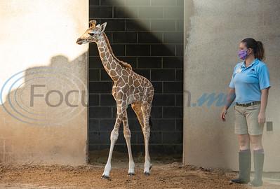 Baby Giraffe at Caldwell Zoo by Sarah A. Miller