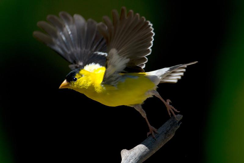Finch_6205.jpg