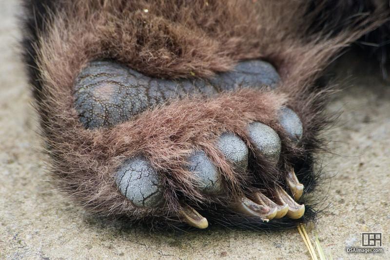 Giant Panda paws