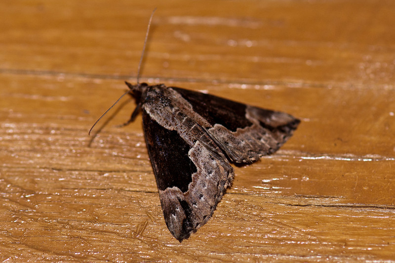 Hypena - Baltimore - (Hypena baltimoralis) - Dunning Lake - Itasca County, MN