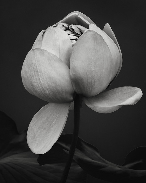 lotus, new york botanical garden