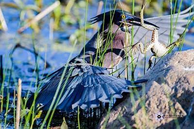 Green Heron Grand Prize Winner of MA Audubon Photo Contest