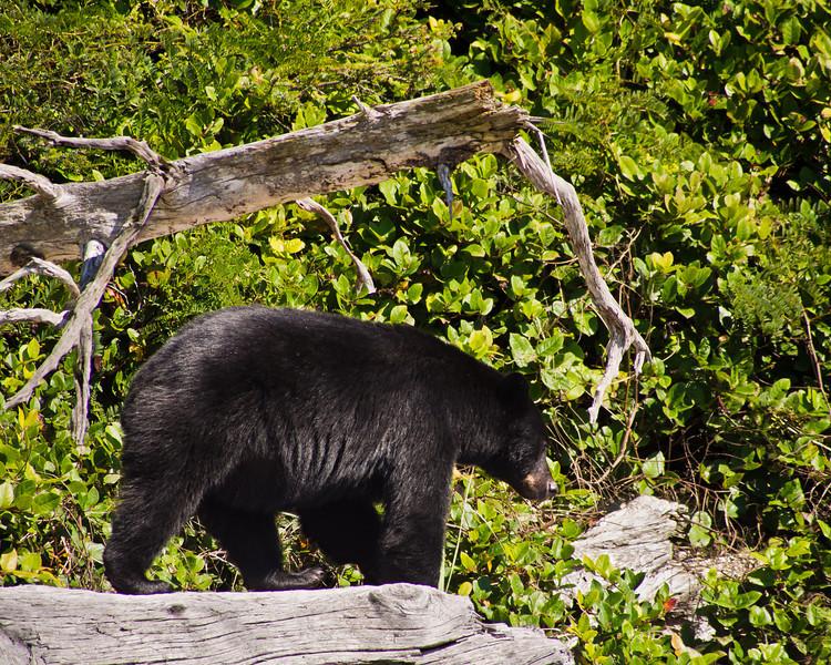 """Black Bear near """"Chez Monique"""""""