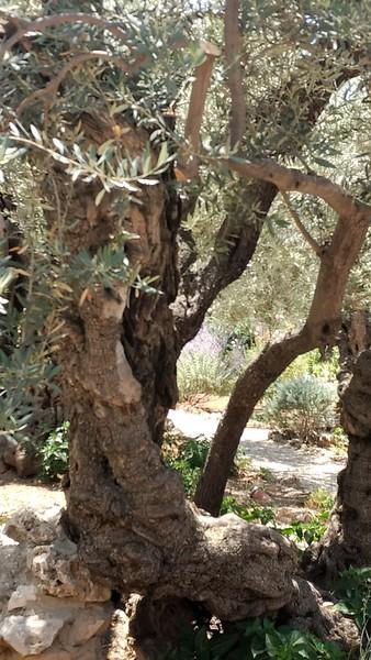 Garden of Gethsemane 2017