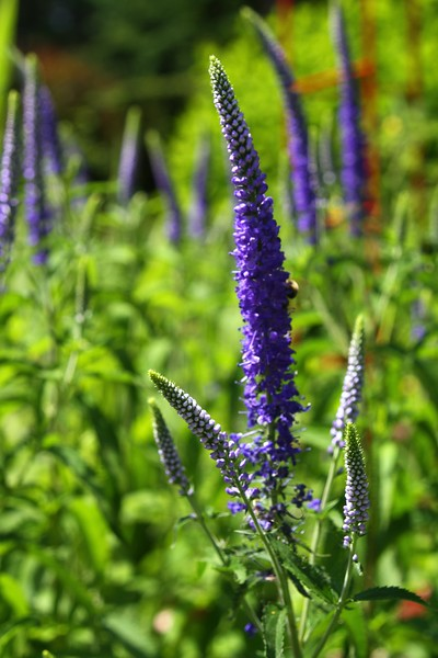 The Veronica is in full bloom